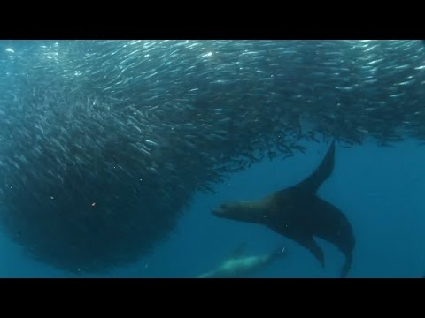 Little Forage Fish are a Big Deal | Pew & This American Land