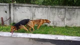 Осторожно сиамские собаки