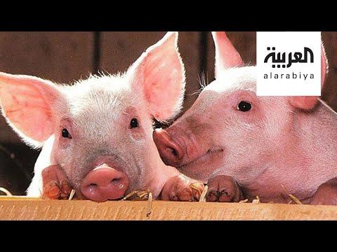 جي 4 نوع جديد من إنفلونزا الخنازير في الصين يهدد العالم بوباء خطير  - نشر قبل 11 ساعة