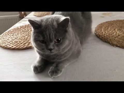 Britská modrá kočička Ophaline Bugaboo*CZ z chovatelské stanice Great Eli*CZ.