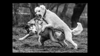 Poodle Vs Husky - Never Mess With A Poodle