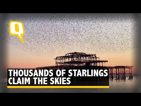 Thousands of Starlings Flock Together to Create a Glorious Murmur - The Quint
