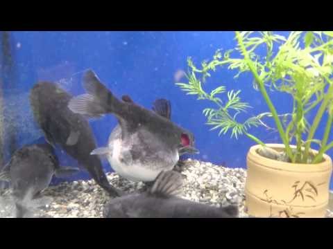 Catfish eats another fish that 39 s about its own size wtf for Can i eat fish everyday
