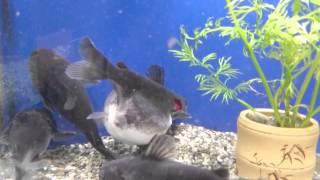 ◄|شاهد| سمكة تبتلع أخرى في نفس حجمها داخل حوض سمك: لحظات لا تصدق - المصري لايت