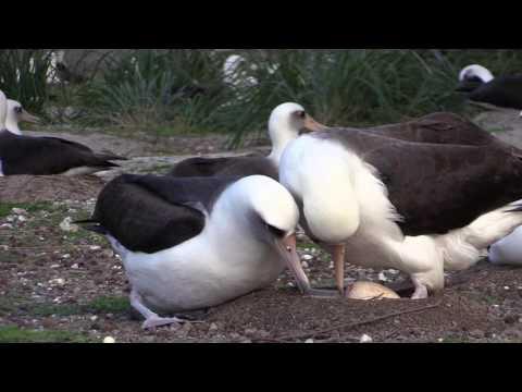 Albatross Love on Midway Atoll