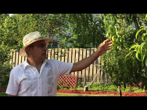 How grow Apple trees with saber آموزش باغبانى با صابر مبارزه با بيمارى هاى درخت سيب