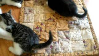 Kittens Wrestling On A Quilted Pet Pad