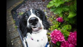 Maisie - 8 Month Old Springer Spaniel - 3 Weeks Residential Dog Training
