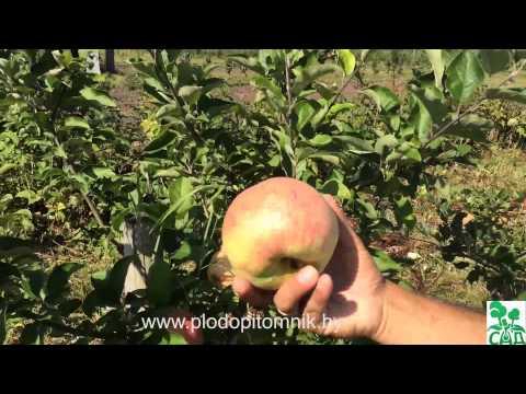 Яблоня сорт Летнее сладкое