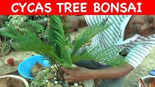 How To Bonsai Sago Palm Cycas Plant With English Subtitle Youtube