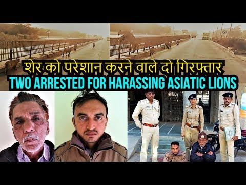शेर को परेशान करने वाले दो गिरफ्तार Two arrested for harassing Asiatic lions near Pipavav port
