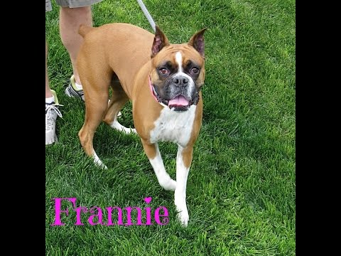 A great affectionate  Boxer dog for adoption!!!