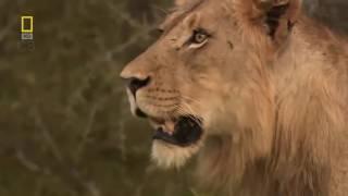Охота льва на слона и буйвола