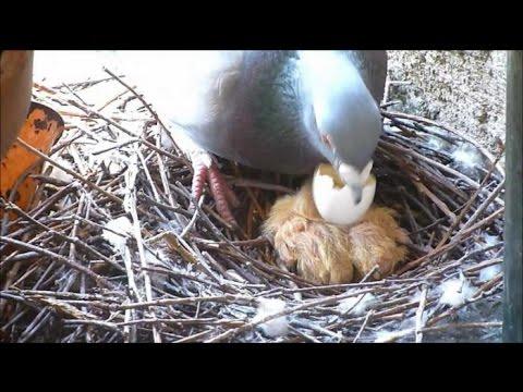 Голуби - Птенцы голубей - Рождение птенцов - Голубиная сага - 2 серия
