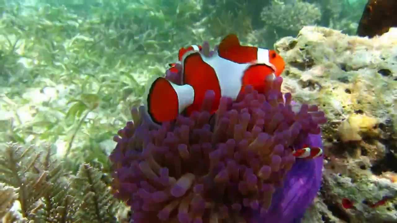 Clown fish in Natural habitat - YouTube