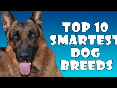 SMARTEST DOG BREEDS TOP 10 - All About Dogs