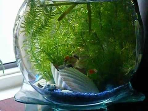Guppy Fish In Round Fish Tank Bowl Youtube