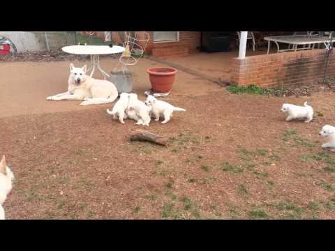5 week old white German Shepherd Puppies
