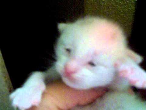 how do cats get leukemia