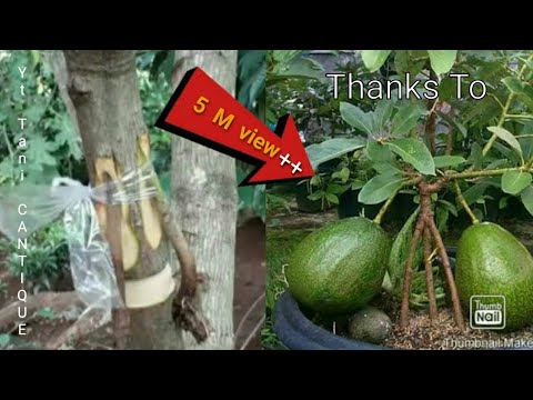 @MAIDULS GARDEN/HOW TO AIR LAYER AN AVOCADO TREE/LAPISAN UDARA ALPUKAT/CANGKOK
