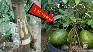 HOW TO AIR LAYER AN AVOCADO TREE/LAPISAN UDARA ALPUKAT