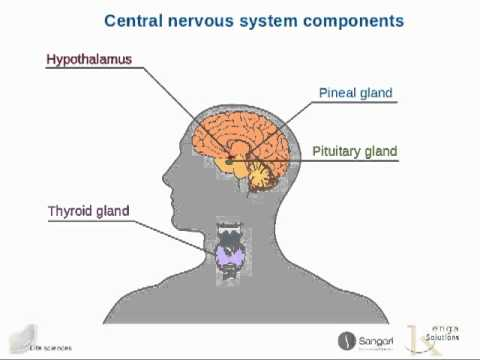 The human endocrine system - YouTube