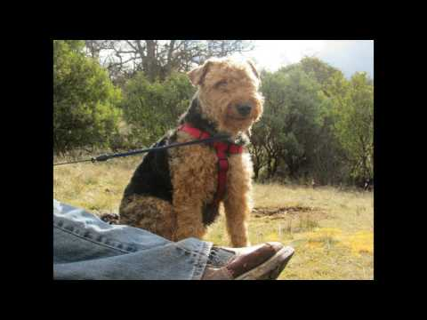 Southern Oregon Welsh Terriers
