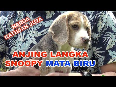 harga-ratusan-juta-:-anjing-snoopy-langka-mata-biru-!!!