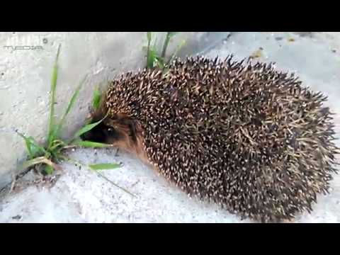 angry hedgehog does not like to be filmed youtube