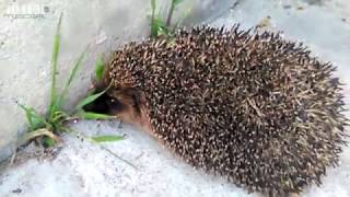 Angry Hedgehog does not like to be filmed