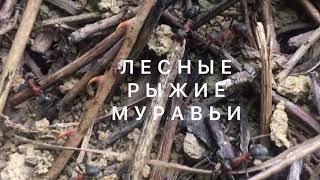Жизнь лесных, рыжих муравьёв в муравейнике. ( Видео-ролик.)