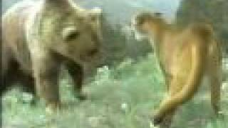 COUGAR KILLS BEAR