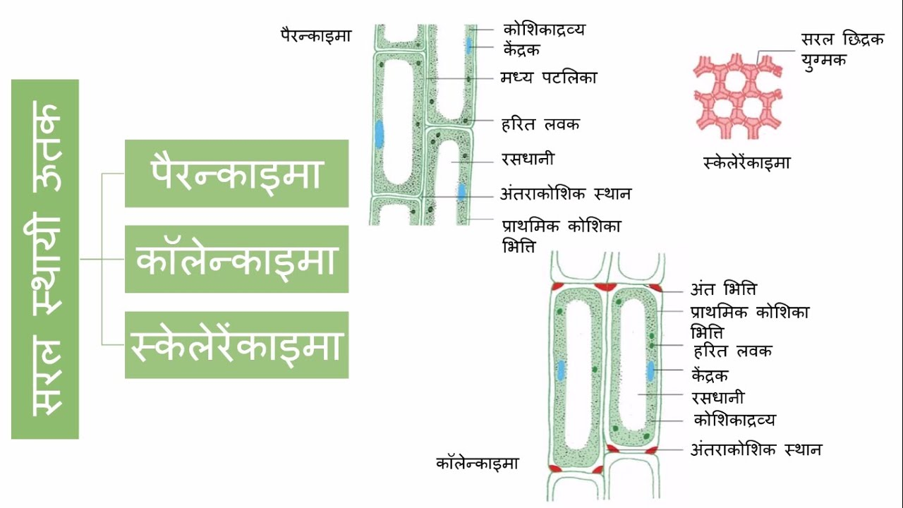 tissue 9 class 9 science tissue 9 class 9 science hindi ccuart Images