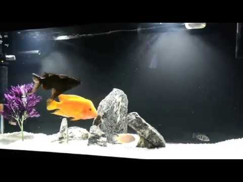Synodontis Eupterus(Feather Fin Catfish) Swimming upside down, eating alongside african cichlids from YouTube · High Definition · Duration:  1 minutes 56 seconds  · 1,000+ views · uploaded on 12/29/2012 · uploaded by Iron WarPig