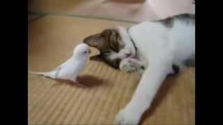 кот играет с птицей (попугаем) cat playing with a bird, really very cool