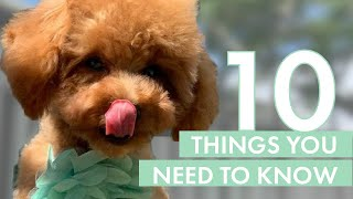 TOY POODLE PUPPY | 10 Things you need to know before getting one