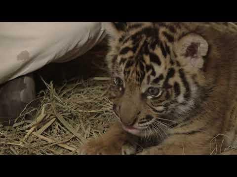 Sumatran Tiger Cub Update: Supplemental Feeding