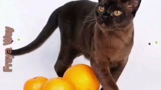 Бурманская кошка соболиного окраса. Презентация. Питомник бурманских кошек Freya Way