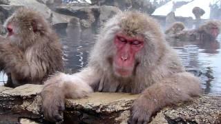 Japanese Snow Monkey in a hot spring village (Jigokudani Yaen Koen (Monkey Park))
