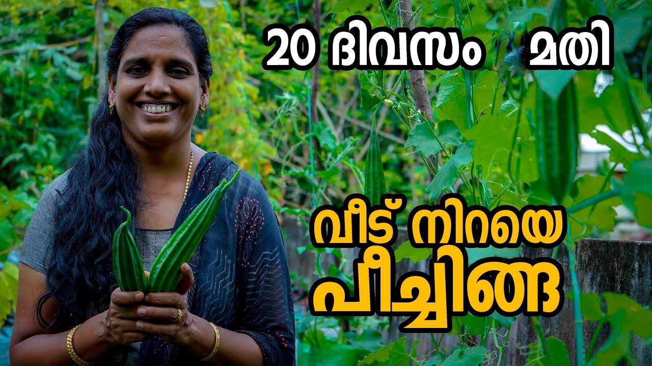 പീച്ചിൽ കൃഷി ആദ്യം മുതൽ അവസാനം വരെ | Peechinga ( Peechil ) Krishi | Ridge gourd farming Malayalam