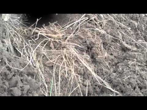 The best gopher trap in the world -cinch trap