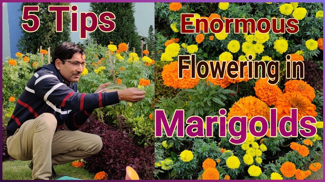 5 Tips To Get 5 Times Maximum Flowers In Marigold Youtube