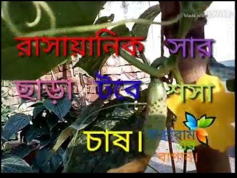 রাসায়ানিক সার ছাড়াই টবে শসা চাষ_Banchharam er bagan.