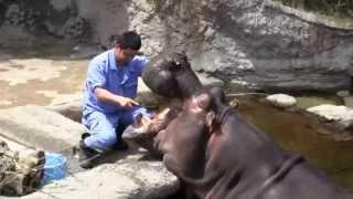 天王寺動物園(大阪市天王寺区)で5月31日、カバの歯磨きなどを行った歯...
