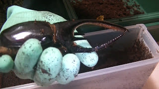 37 掘るべし!ネプチューンオオカブト【カブPのヘラクレス飼育日記】Dyn...