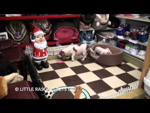 Little Rascals Uk breeders New litter of Cocker Spaniels with mummy - Puppies for Sale 2015