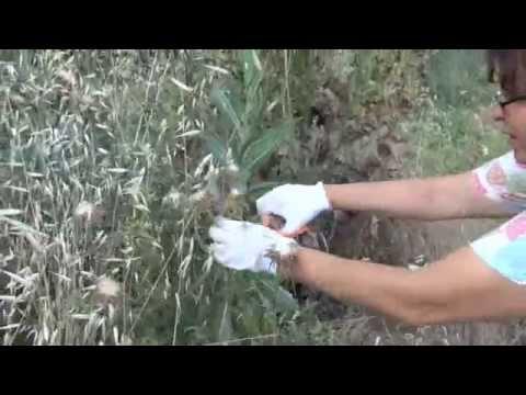 Сбор, обработка и приготовления семян расторопши (Sílybum mariánum)