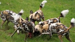 Гиеновая собака против гиен. Невероятное развитие событий / Встреча двух африканских хищников