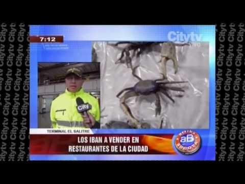 Policía incauta cangrejos azules en Bogotá | CityTv |