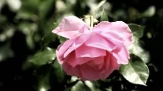 Розовый вальс...  Ф.Легар Вальс из оперетты «Веселая вдова» - F. Lehár